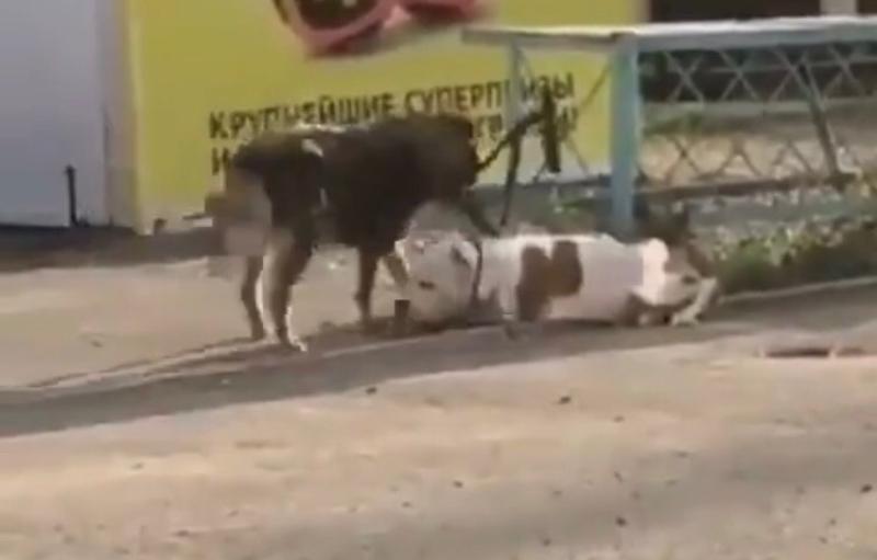 Друг в беде не бросит: бездомный пес отвязал от забора породистую собаку в Новороссийске