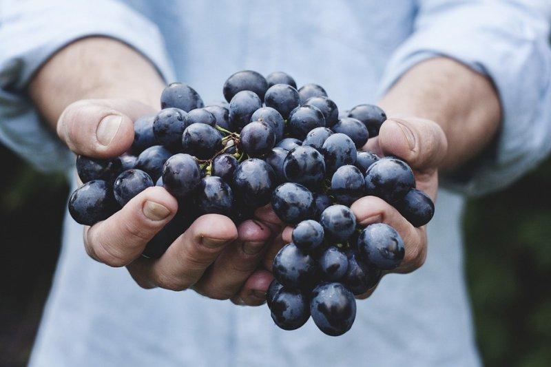 На Кубани собрали 212 тысяч тонн винограда