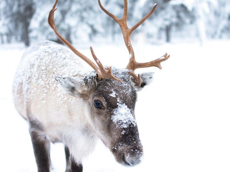 «Зверье моё»: северных оленей привезли в Сочи с Ямала