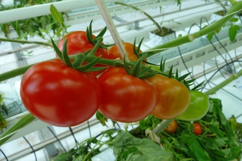 На Кубани собрали 35 тысяч тонн овощей