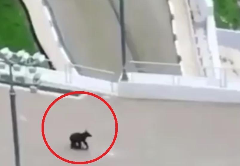 Очевидцы сняли на видео погоню за медведем в Сочи