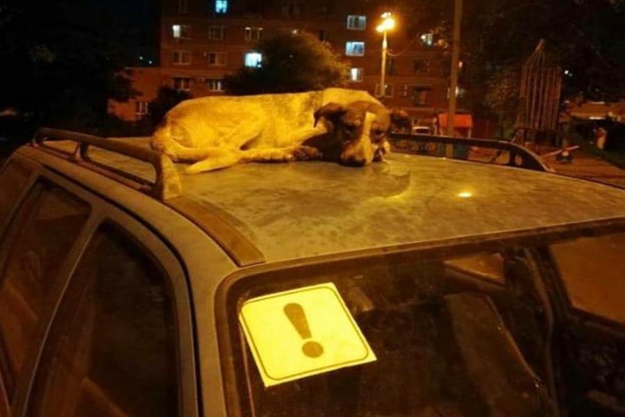 Спящий на крыше авто пес порадовал краснодарцев