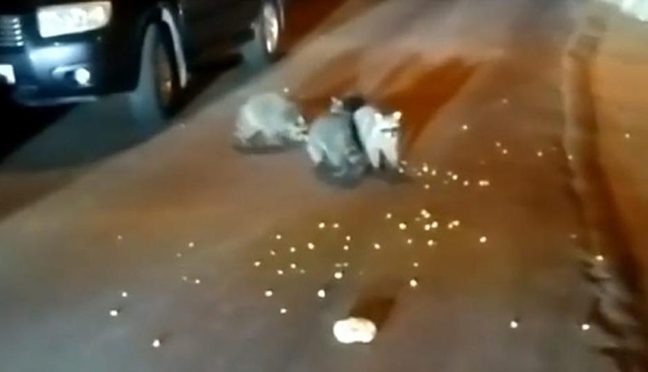 «Еноты те еще гопники»: в Сочи на видео попала семья голодных животных