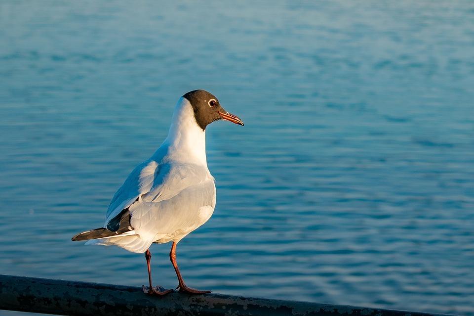 Зверье мое: чем не прочь полакомиться озерная чайка