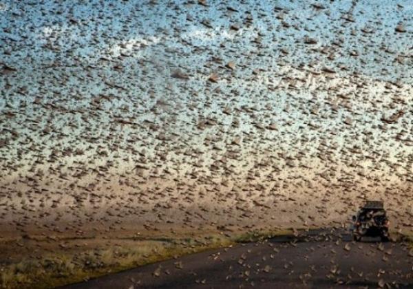 Власти Кубани заявили об отсутствии угрозы нашествия саранчи