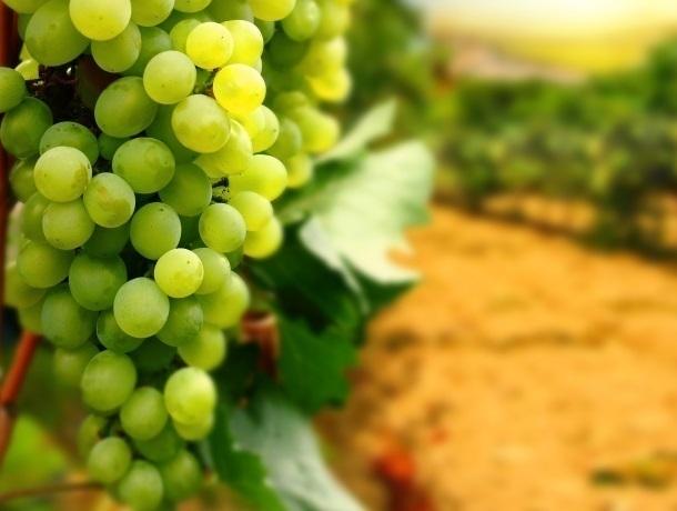В сплошные виноградники превратится Краснодарский край