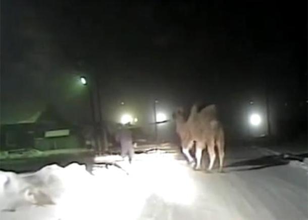 Сочинский верблюд погиб в ДТП в Иркутской области